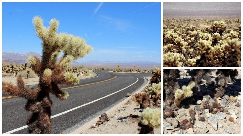 Joshua Tree National Park - Cholla Cacti
